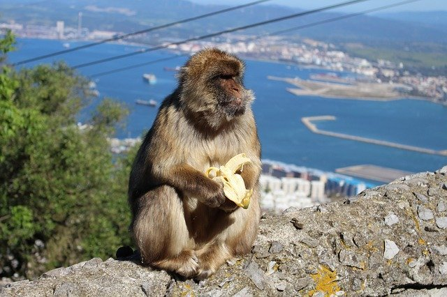 The Barbary Macaque on top of the Rock of Gibraltar